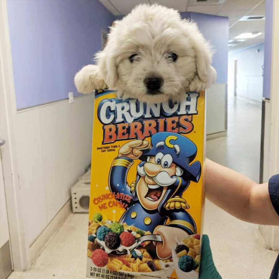Puppy Dropped Off at Animal Shelter in Cereal Box, Covered in Fleas Gets New Home